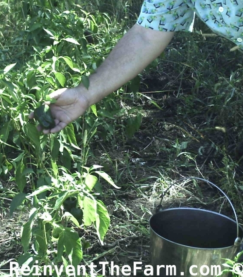 Picking Poblano Peppers