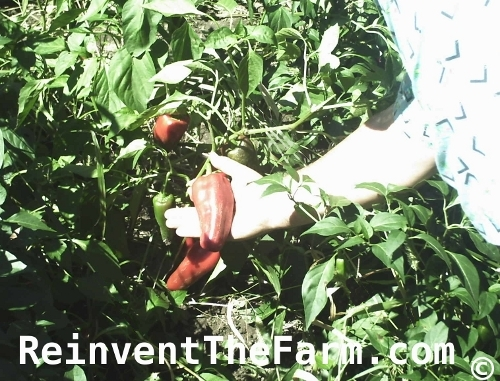 Picking Long Tall Sally Sweet Peppers